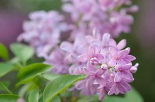 Free Blooming Lilac Bush Royalty Free Stock Photography - 29697987