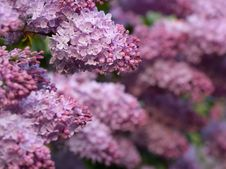 Free Lush Lilac Bush Royalty Free Stock Image - 29697996