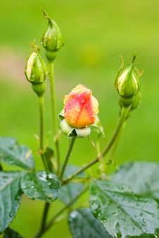 Free Water Drops On Rosebuds Stock Image - 2970811