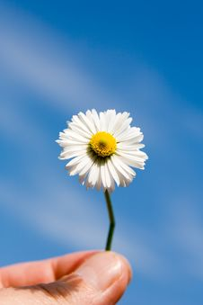 Free Camomile, Ox-eye Daisy Royalty Free Stock Images - 2971519