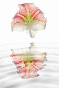 Free Amaryllis Flower Stock Image - 2971821