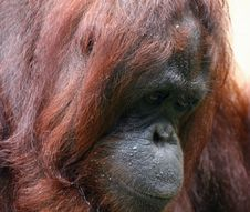 Orangutan In Bad Mood Stock Photo