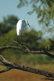 Free White Heron Stock Photography - 2972502