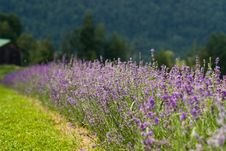 Free Lavender Field Stock Photography - 2972782