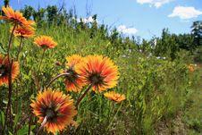 Free Fiery Wild Flowers Royalty Free Stock Image - 2977076