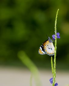 Plain Tiger Butterfly Feeding Royalty Free Stock Images