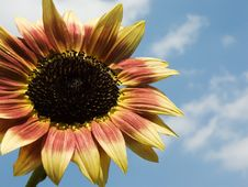 Free Sunflower Royalty Free Stock Photos - 2978598