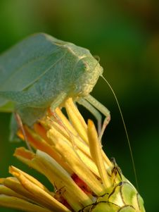 Free Katydid Royalty Free Stock Photos - 2978888