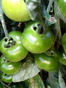 Free Green Tomatoes 2 Stock Photography - 2979062