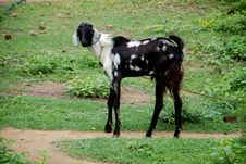 Free A Goat Stock Photos - 2979163