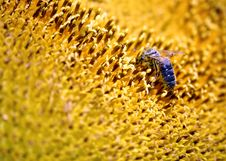 Free Bee On A Sunflower Royalty Free Stock Photography - 2979337