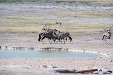 Gemsbok Fighting At Waterhole Royalty Free Stock Photos