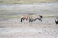 Free Gemsbok Fighting At Waterhole Stock Images - 2979344