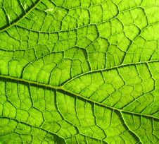 Free Underside Of A Green Leaf Stock Photography - 2979352