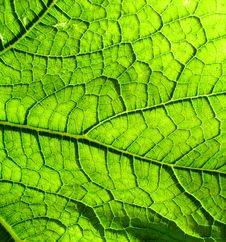 Free Underside Of A Green Leaf 3 Royalty Free Stock Image - 2979386