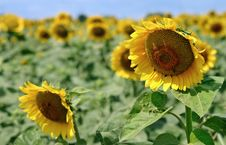 Free Sunflowers Royalty Free Stock Photography - 2979407