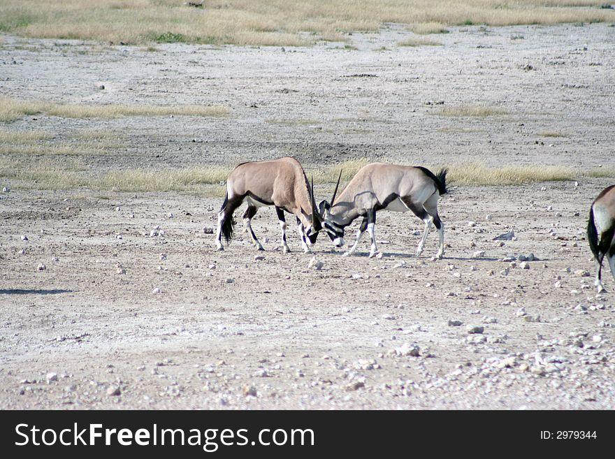 Gemsbok fighting at waterhole