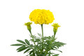 Free Marigold Royalty Free Stock Photos - 29700138