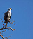 Free Osprey Stock Photography - 29700592