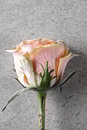 Free Pink Rose On Old Paper Royalty Free Stock Photo - 29709865