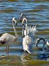 Free Flamingos Royalty Free Stock Images - 29709969