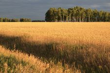 Free Field Of Ripe Wheat. Royalty Free Stock Photos - 29700038