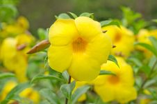Free Allamanda Cathartica Royalty Free Stock Images - 29700129