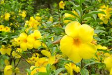 Free Allamanda Cathartica Royalty Free Stock Images - 29700169