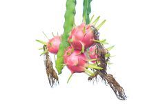 Free Dragon Fruit Stock Photos - 29700363