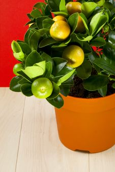 Free Calamondin Royalty Free Stock Photos - 29700528