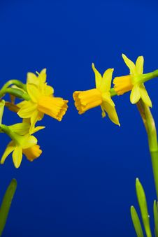 Free Narcissuses Stock Photo - 29700610
