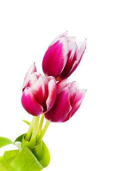 Free Spring Tulips Stock Photos - 29700663