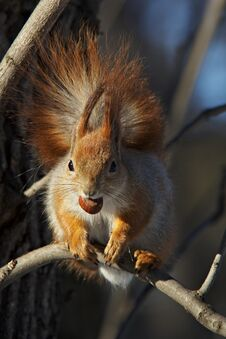 Free Red Squirrel With A Nut On A Branch Royalty Free Stock Images - 29703409