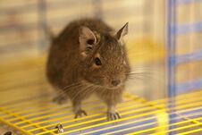 Free Cute Degu On The Cage Bars Royalty Free Stock Image - 29704706
