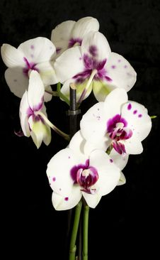Free Orchid Stock Images - 29705804