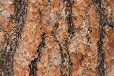 Free Pine Tree Bark Texture Royalty Free Stock Photography - 29707387