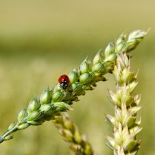 Free Ladybird On The Spike. Royalty Free Stock Images - 29708539