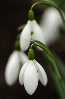 Free Snowdrops In Spring Stock Photography - 29709942