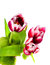 Free Spring Tulips Royalty Free Stock Image - 29700096