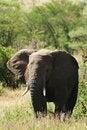 Free African Elephant Stock Image - 29719591