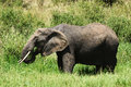 Free African Elephant Eating Grass Royalty Free Stock Photos - 29719628