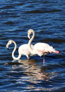 Free Flamingos Royalty Free Stock Photography - 29710007