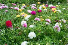 Free Portulaca Flower Stock Images - 29710604