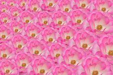 Free Roses Background Royalty Free Stock Image - 29710676