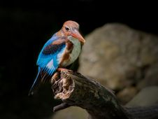 Free White-throated Kingfisher Stock Photo - 29711960