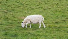 Free Sheep Eating On The Grass, Scotland Royalty Free Stock Photo - 29716455