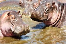 Free Hippos Looking At Camera Stock Photography - 29719692