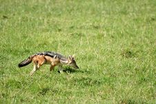 Free Jackal Sniffing In Grass Field Royalty Free Stock Photography - 29719747