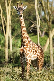 Free Young Giraffe Looking At Camera Royalty Free Stock Images - 29719789