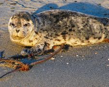 Baby Seal On Beach Stock Image